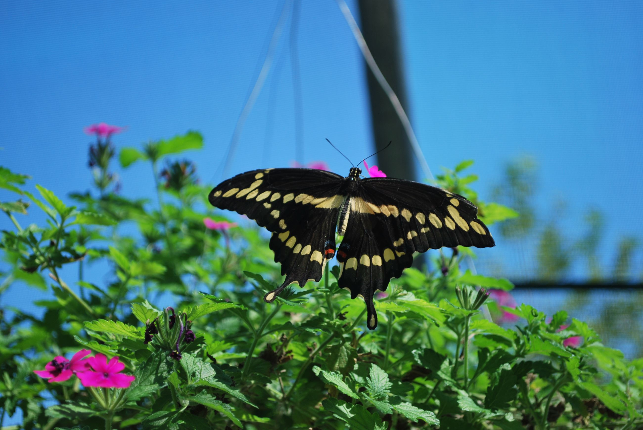 Black and Yellow Butterfly on pink flowering plant at Columbian Park Zoo, Rachel Jones