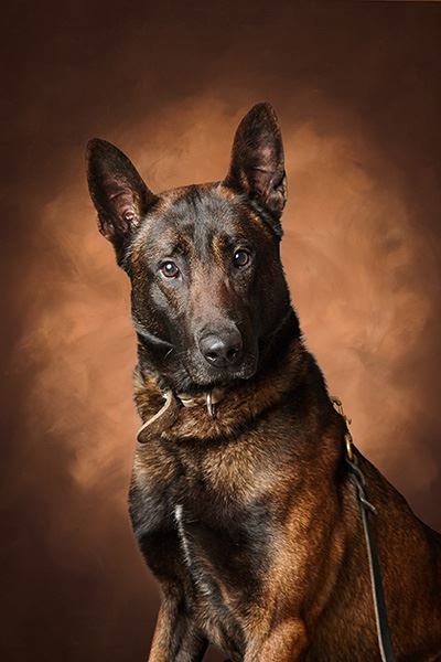 Marko the canine from Tippecanoe County a brindled German Shepherd